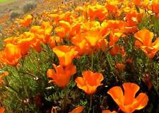 Orange Poppy Seeds, Heirloom Orange Poppies, Bulk Flower Seed, Wildflowers 500ct