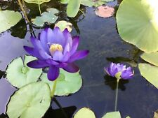 Blue Gigantea . Tropical Waterlily One Plant