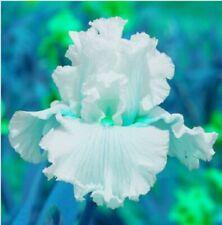 2 Iris Bulbs Perennial Flower Pot Rare Plants Bearded Rhizomes Bonsai Resistant