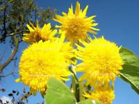 Sonnenblume Gelber Knirps Teddy Bär Helianthus annuus Samen Saatgut Saat