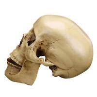 Crâne Squelette Résine Ornmenet Gothique Modèle Enseignement Médical