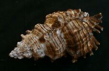 edspal shells- Chicoreus torrefactus  126.4mm F+, seashells beach home decor