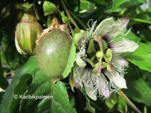 Passiflora edulis - echte Maracuja Frucht -  Pflanze 140-160cm - Passionsblume
