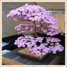 5 Seeds Of Bonsai Tree Japanese Sakura Flower Blossom Cherry Plant Acer RARE UK