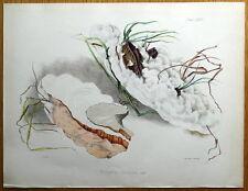 OLMO POLYPORUS FUNGO, Fungo HUSSEY Originale Antico funghi stampa 1847