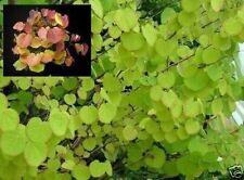 Lebkuchenbaum Stecklinge Bäume Pflanze für den Garten winterhart mehrjährig Deko