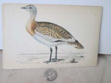 Vintage Print,GREAT BUSTARD,British Birds,Morris,c1860
