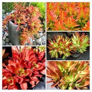 """Crassula Capitella Campfire Plant Red Pagoda RARE Live Multicolor Succulent 3+"""""""