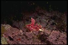 045010 Crevice Kelpfish Pt Lobos A4 Photo Print