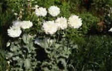Peony Poppy- (Papaver Paeoniflorum) -White- 100 Seeds