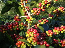 10 seeds Coffee Bean Seeds Perennial ARABICA Green original Coffee tree