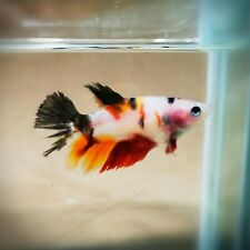 "Live Betta Fish - Female Halfmoon -""Fancy Koi"" Betta High Quality (QAP14)"
