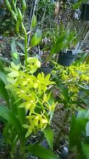 Grammatocymbidium,  orchid hybrid.