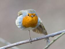 Robin Stretching GREETINGS CARD Steve Greaves Photo Wildlife  Bird Art Christmas