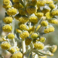 WORMWOOD Seeds 100x | Artemisia Absinthium | Sacred Medicinal Shaman Rare