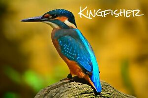 KINGFISHER - NOVELTY SOUVENIR FRIDGE MAGNET - BIRDS OF THE WORLD / NEW / GIFTS