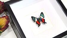 Framed Real Butterfly entomology specimen  Ancyluris formosissima BBAFV