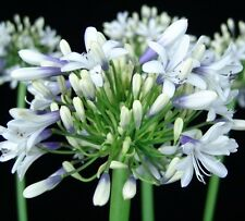 CLOUDY DAYS Agapanthus orientalis frost hardy flowering plant in 140mm pot