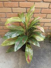 82cm CORDYLINE ARTIFICIAL GREEN PINK VARIEGATED POTTED INDOOR HOUSE PLANT