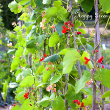 MIXED RUNNER BEANS - 10 SEEDS - Phaseolus coccineus - ANNUAL - CLIMBER