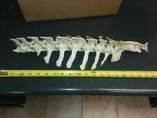 Real Genuine Animal Spine Spinal Column Complete Whitetail Deer taxidermy