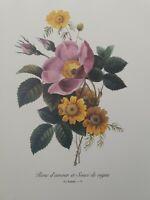 Redoute P73 Rose d'amour et Soufi de vigne Vintage Botanic Floral Print Wall Art