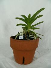 Vanda manvadee x rothschildiana orchid plant (36)