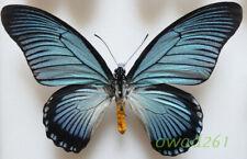 Papilio zalmoxis Hewitson, 1864 male C.A.R. 144mm50a