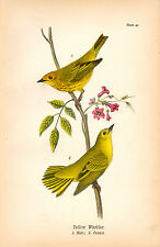 Rare 1890 Antique Audubon Bird Print ~ Yellow Warbler ~ Striking!