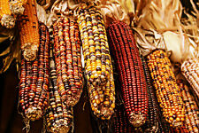 101+ Indian Corn Seeds - EASIEST CORN TO GROW BY FAR! - Ornamental Corn - NONGMO