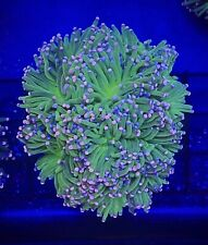 Blue AND Pink Tip Torch Coral Frag Euphyllia -PRICED PER HEAD/POLYP-