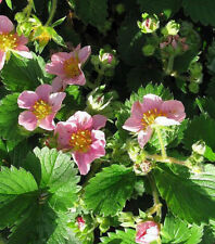 Zier Erdbeere Fragaria vesca Pink Panda Bodendecker Sommerblüher