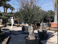 Schöner alter Olivenbaum winterhart, Gesamthöhe ca. 2,20 m, Umfang 60/80 cm