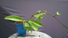 Bouture racinée rooted Cutting Hoya Pubicalyx Red Button (6)