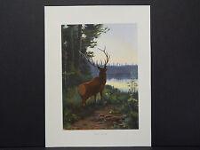 Animals print c.1910 Original Color Wapiti, or Elk