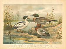 Ducks, Waterfowl, Coastal Birds, Vintage 1905 German Antique Art Print Plate #9