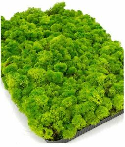 Reindeer Moss, Forest Green, Preserved Product - Approximately 0.5 square metres