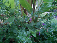 Hypoestes floribunda Seed : Australian Native Medicinal Herb : Organic Perennial