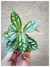 Friendship Plant Pilea Aluminum Terrarium Plant