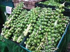 MULTI - HARVEST BRUSSEL SPROUT SEEDS * 200 SEEDS * HEAVY YIELDING * HEALTHFUL *