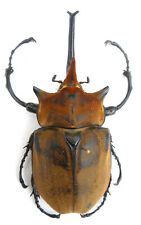 Megasoma elephas male from MEXICO , Länge :113,94 mm , K5-11