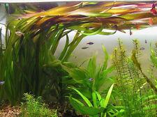vallisneria gigantea  6  plantes aquarium facile