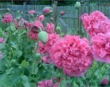 Peony Poppy- (Papaver Paeoniflorum) - Rose - 100 seeds