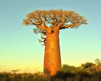 Adansonia Digitata Seed -  African Baobab Tree - Excellent Bonsai - 10 Seeds
