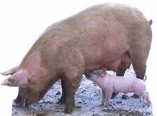 SC-65 Schwein mit Ferkel H. 92cm Aufsteller Pappaufsteller Pappkamerad Pappfigur