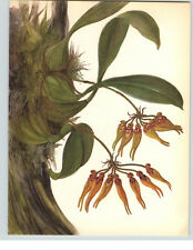 1922 Color Book Plate Framable Orchid Images Bulbophyllum carreyanum Gold Purple