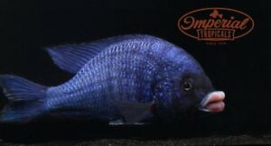 "Mdoka ""White Lips"" (Placidochromis phenochilus) African Cichlid Malawi"