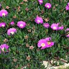 Pig Face Plant -Australian Native Succulent Plant Cuttings X 5