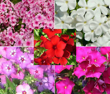 PHLOX MIXED COLORS Phlox Drummondii - 100 Seeds