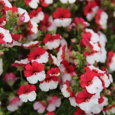 Rot-Weißer ELFENSPIEGEL 150+ Samen NEMESIA STRUMOSA seeds